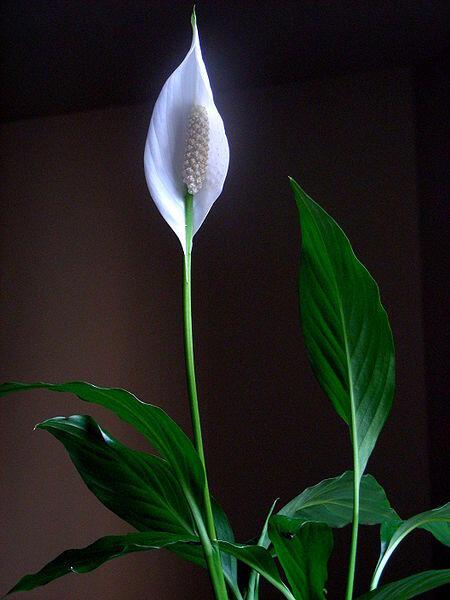 8 best plants to grow indoorsgreen area green area - White flowering house plants ...
