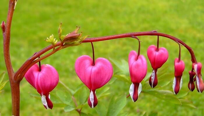 bleeding-heart rose1